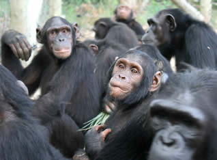 Like humans, chimps are highly social animals that live in communities. (Source)