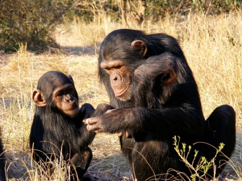 Mother chimps play a key role in the development of survival and social skills in their young. (Source)