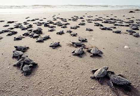 Having imprinted on the unique magnetic signature of their birth beach, newly hatched baby sea turtles head to the ocean. (Source)