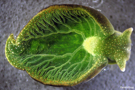 The green sea slug Elysia chlorotica (Source)