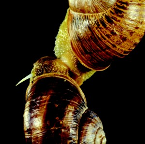 """Shot through the heart and you're to blame, you give love a bad name"" In this image of two mating snails, the snail on top shot a love dart through the head of its mating partner. (Credit: Chase and Blanchard, Proc. R. Soc. B (2006) 273, 1471–1475)"