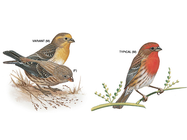 Male house finches vary in their colouration from red to yellow. (Image: Diane Pierce, National Geographic)