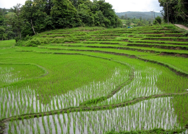 Rice paddies like this one near Chiang Mai, Thailand are contributing to the buildup of methane in the atmosphere. (Credit: Esteban Chiner. CC BY 2.0)