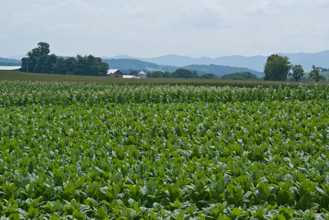 A tobacco field in Tennessee (Credit: ajgarrison3. CC BY 2.0)