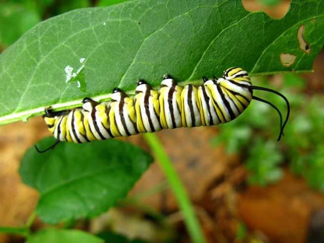 A monarch caterpillar feeding on milkweed (Credit: OakleyOriginals. CC BY 2.0)